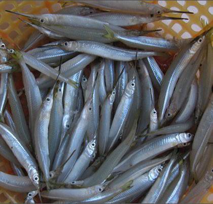 cá kìm khô