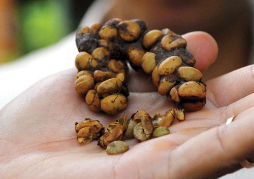 cà phê chồn đặc sản Đắk Lắk