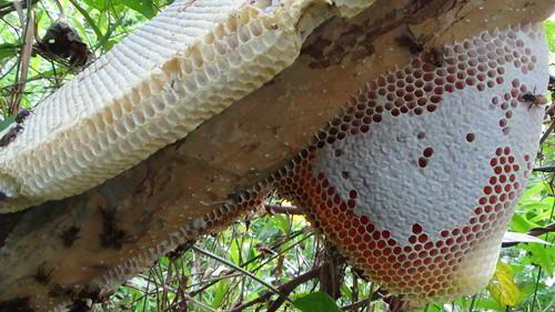mật ong rừng đặc sản Gia Lai
