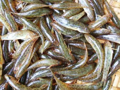 cá bống sông trà đặc sản Quảng Ngãi