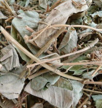 trà kim tiền thảo